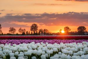 Tulpen velden - Ooltgensplaat