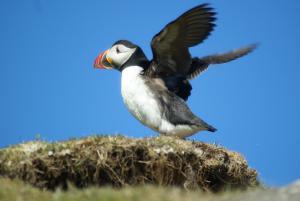 Papegaaiduiker - Schotland